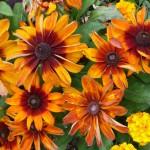 Rudbeckia, décorations florales estivales, square Henri Collet, Paris 16e (75)