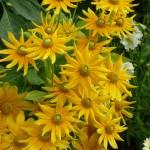 Rudbeckias, décorations florales estivales, jardin du Luxembourg, Paris 6e (75)