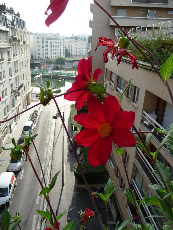 Dahlia coccinea sur mon balcon en automne, Paris 19e (75)