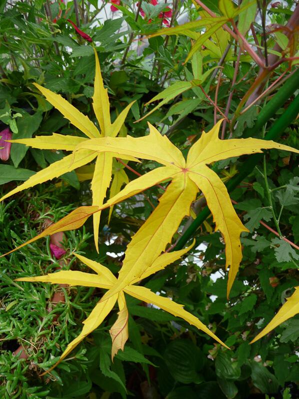 Feuilles d'Hibiscus coccineus sur mon balcon en automne, Paris 19e (75)