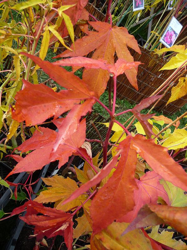 Feuillage orange cuivré d'Hibiscus 'Kopper King', Malvacées, Pépinière Fleurs du Sud, Journées des Plantes automne, Domaine de Courson, Essonne
