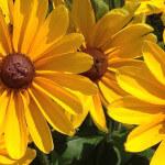 Rudbekia hirta aux grandes fleurs jaune d'or dans le Parc floral de Paris en été, Paris 12e (75)