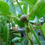 Amorphophallus bulbifer, Aracées, Fête des plantes d'automne, Saint-Jean de Beauregard (91)