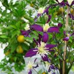 Clematis aromatica, Fête des plantes d'automne, Saint-Jean de Beauregard (91)