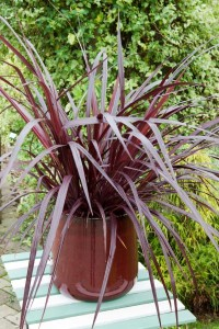 Cordyline 'Burgundy', photo Globe Planter