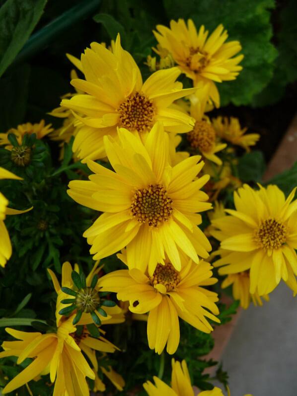 Bidens 'Rapid Yellow' sur mon balcon au printemps, Paris 19e (75)