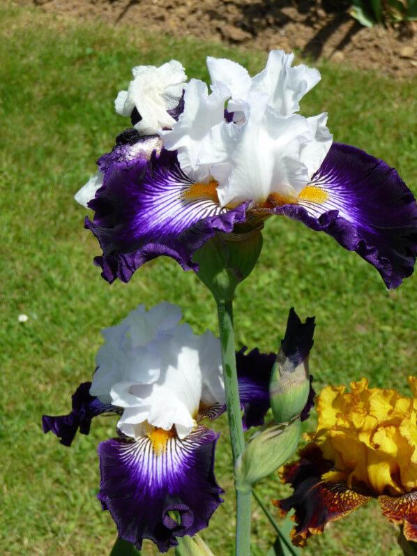 Iris n°79, iris 'Barbe Noire', Franciris 2015, Parc floral de Paris, Paris 12e (75)