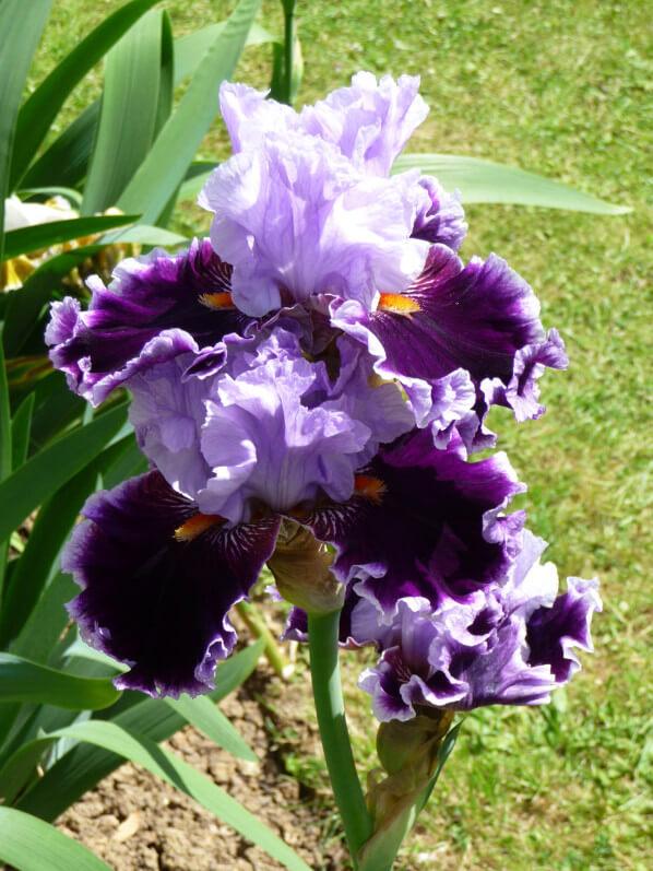 Iris n°35, Franciris 2015, Parc floral de Paris, Paris 12e (75)