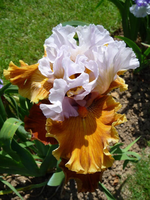 Iris n°70, Franciris 2015, Parc floral de Paris, Paris 12e (75)