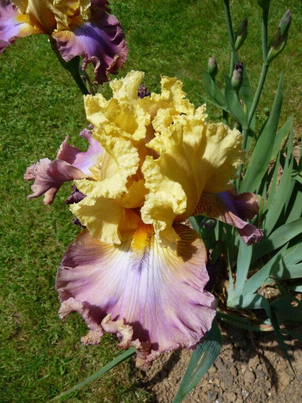 Iris n°61, Franciris 2015, Parc floral de Paris, Paris 12e (75)