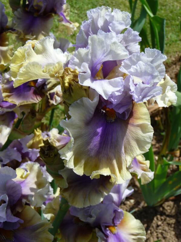 Iris n°16, Franciris 2015, Parc floral de Paris, Paris 12e (75)