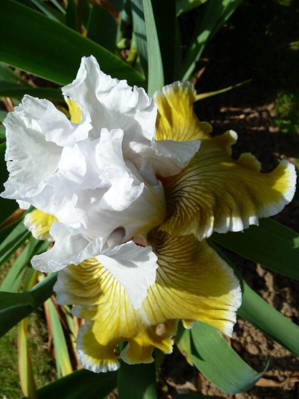 Iris n°38, Franciris 2015, Parc floral de Paris, Paris 12e (75)