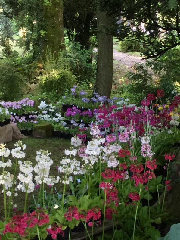 Primevères, Barnhaven Primeroses, Journées des Plantes, Domaine de Chantilly, Chantilly (60)