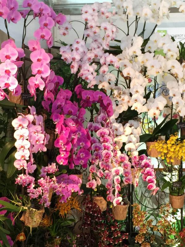 Phalaenopsis (orchidées), Vacherot et Lecoufle, Journées des Plantes, Domaine de Chantilly, Chantilly (60), 15 mai 2015, photo Alain Delavie