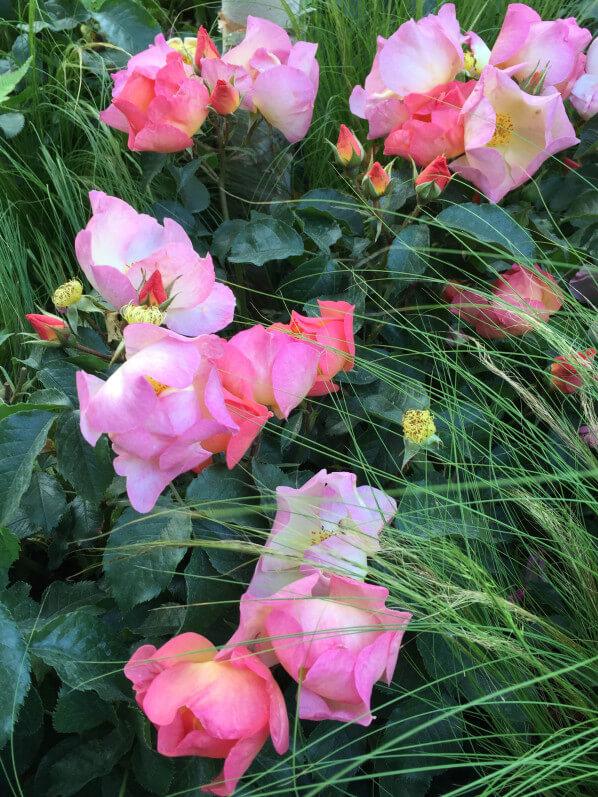 Rose Lambert Wilson, jardin éphémère de Truffaut, Jardins Jardin aux Tuileries, Paris 1er (75)