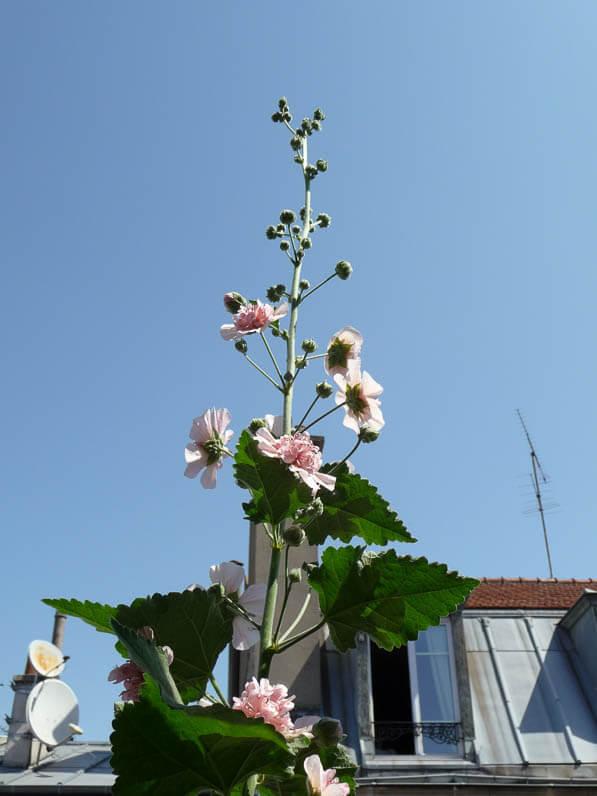 Alcathea suffrutscens 'Parkfrieden' sur mon balcon en été, rue de Nantes, Paris 19e (75)