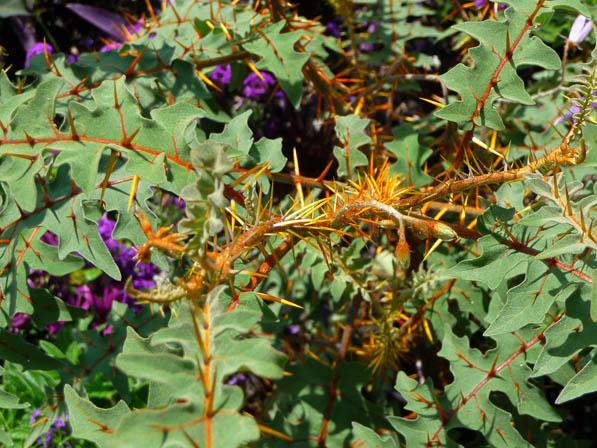 Solanum pyracanthum en été au parc floral, Paris 12e (75)