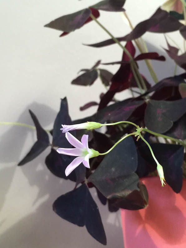 Oxalis pourpre, Tillandsia, boutique Girls and Roses, rue Montorgueil, Paris 1er (75)