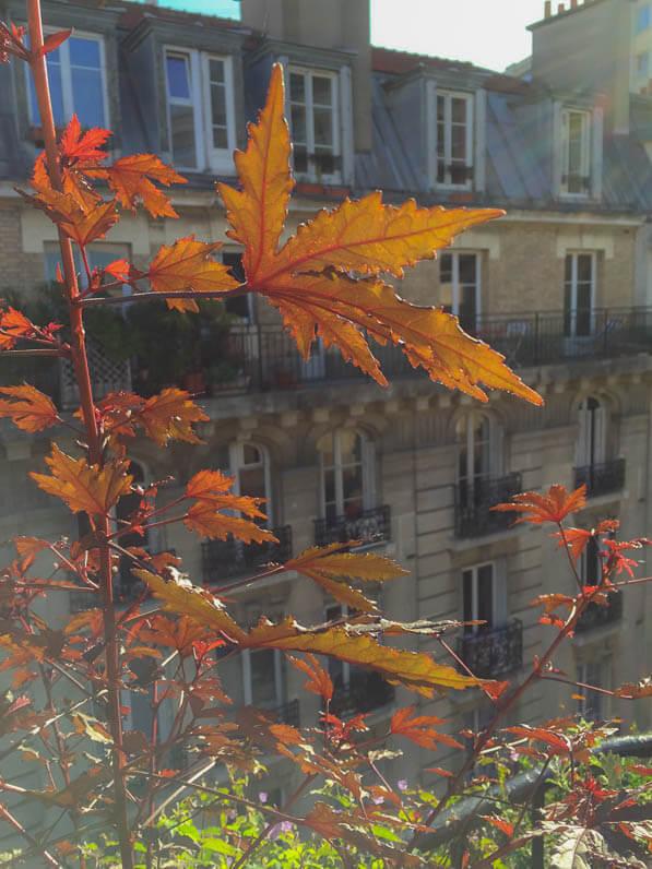 Hibiscus acetosella 'Mahogany Splendor' sur mon balcon parisien en été, Paris 19e (75)