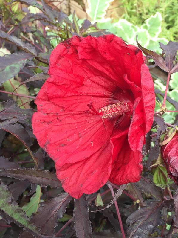 Hibiscus Carrousel 'Red Wine', Alain Tan, Pépinière Fleurs du Sud, La Folie des Plantes, Parc du Grand Blottereau, Nantes (44)