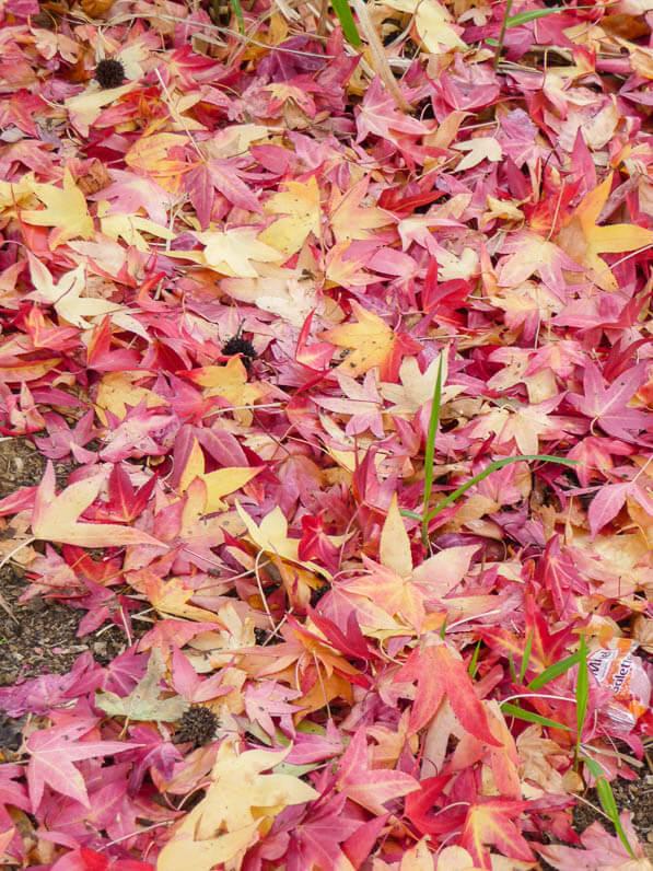 Tapis de feuilles de copalmes d'Amérique (Liquidambar styraciflua) en automne dans le parc de la Villette, Paris 19e (75)