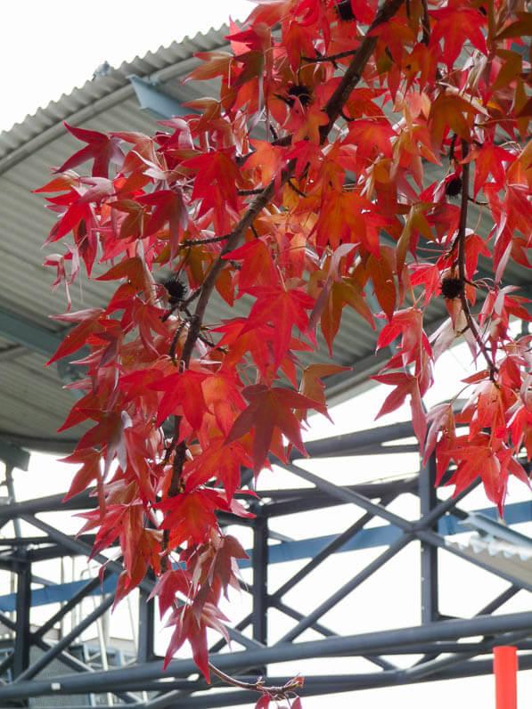 Branche d'un copalme d'Amérique (Liquidambar styraciflua) en automne dans le parc de la Villette, Paris 19e (75)
