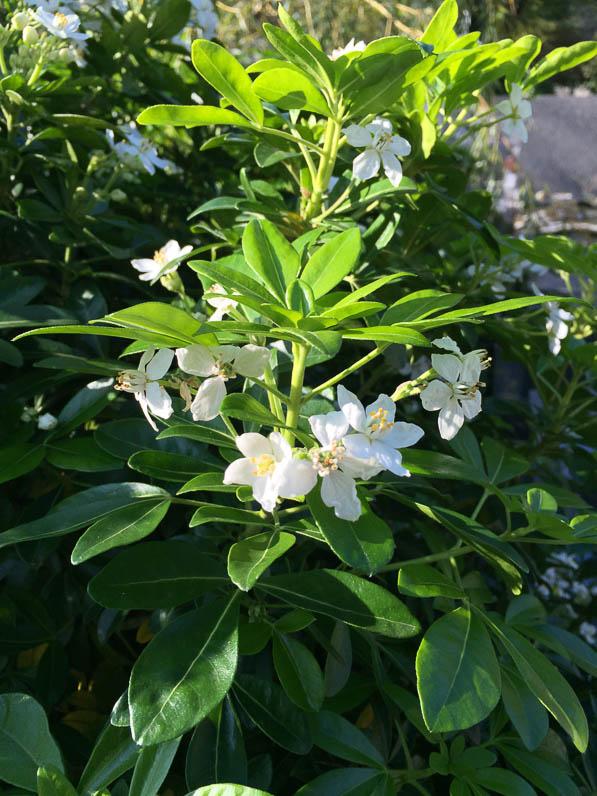 Oranger du Mexique (Choisya ternata) fleuri dans le cimetière du Père Lachaise en automne, Paris 20e (75)