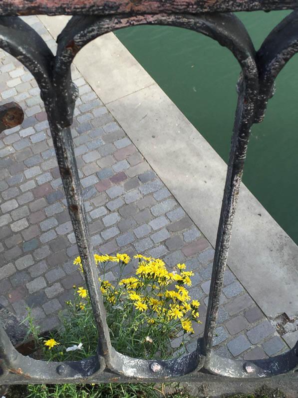 Séneçon du Cap (Senecio inaequidens), Astéracées, adventice sur le viaduc de la Villette en automne, canal de l'Ourcq, Paris 19e (75)