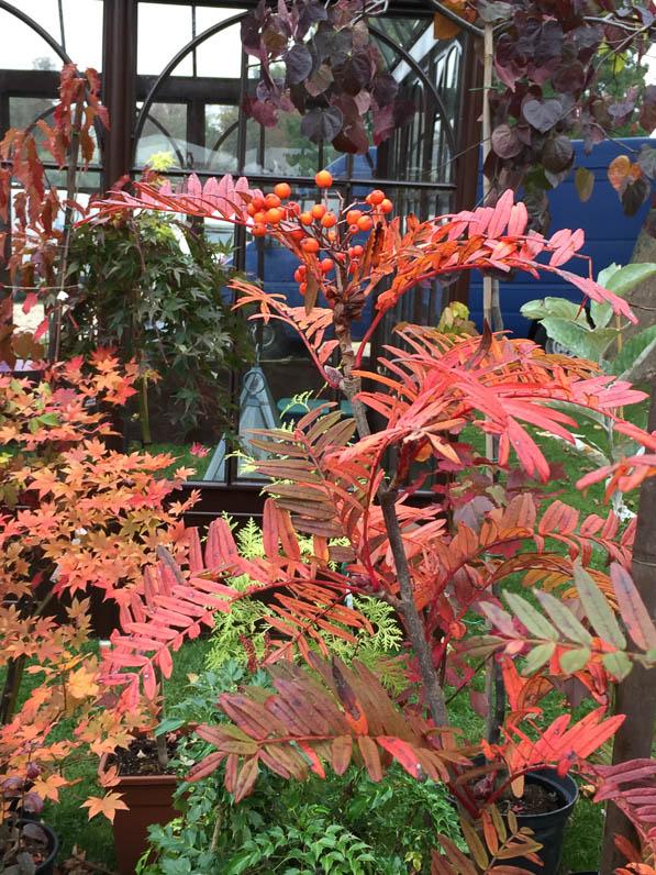Sorbus scalaris, arbre, Pépinière Philippe Leclerc, Journées des Plantes, automne, Domaine de Chantilly, Chantilly (60)