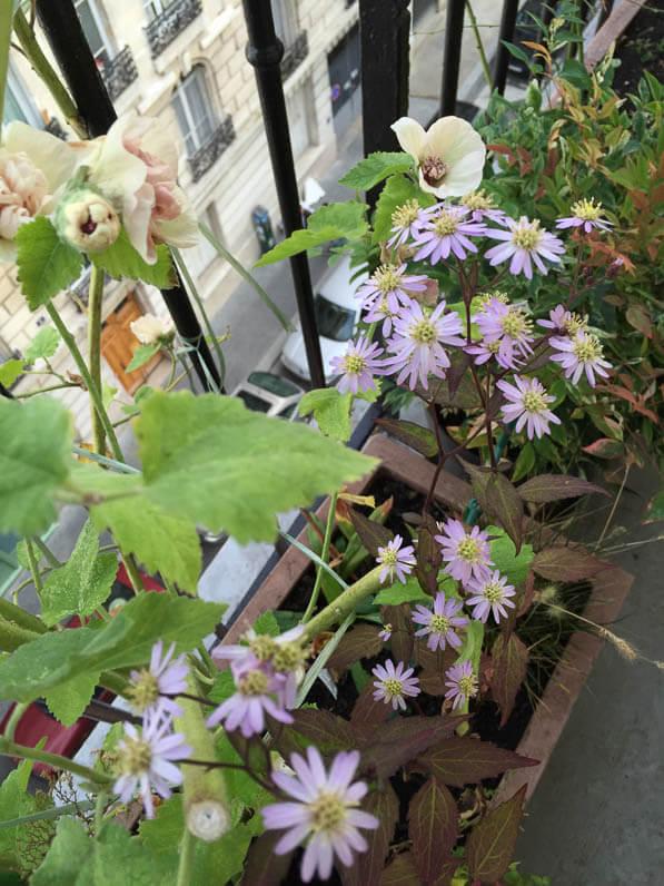 Alcathea suffrutescens 'Parkallee' et Aster scaber 'Kyosumi' sur mon balcon parisien en automne, Paris 19e (75)