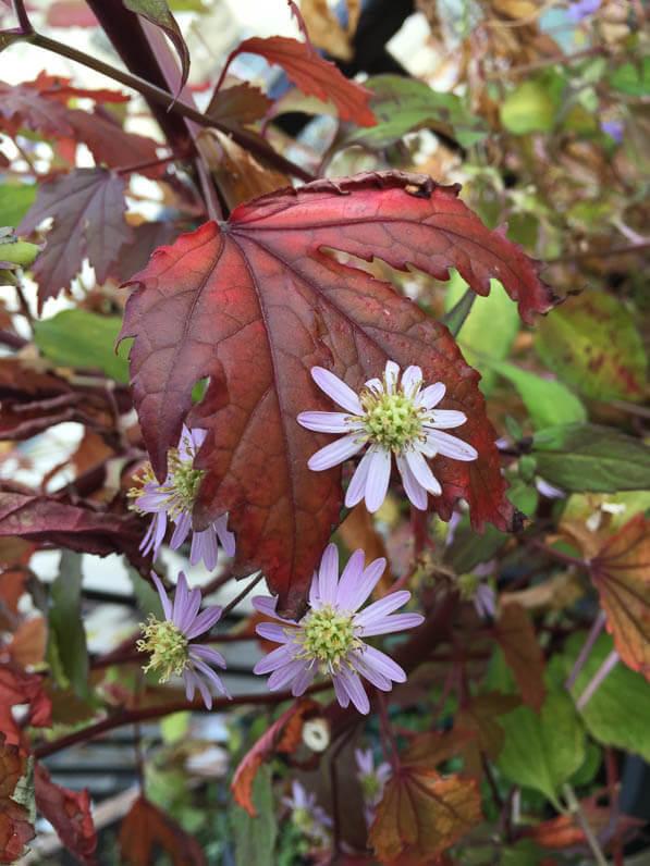 Aster scaber 'Kyosumi' et Hibiscus acetosella 'Mahogany Splendor' sur mon balcon en automne, Paris 19e (75)