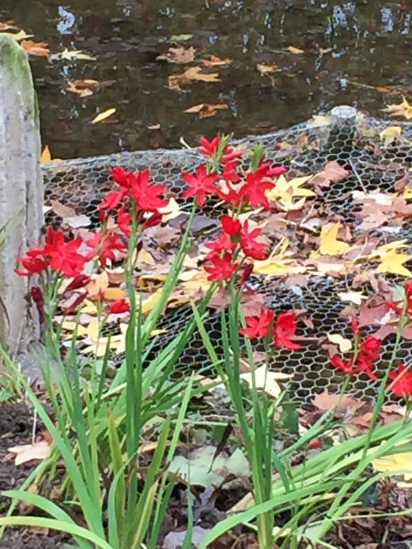 Lis des Cafres (Schizostylis coccinea) dans le parc Monceau en automne, Paris 8e (75)