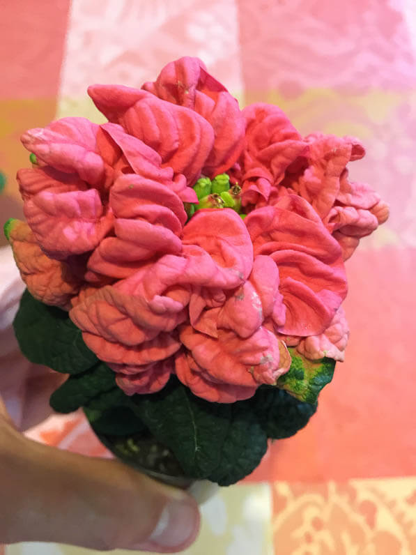Poinsettia à bractées doubles, plante d'intérieur, Paris 19e (75)
