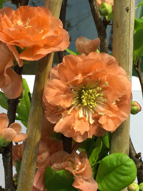 Cognassier du Japon, Chaenomeles 'Mango Storm', Silence ça pousse ! Salon du Végétal, parc des expositions, Angers (49)
