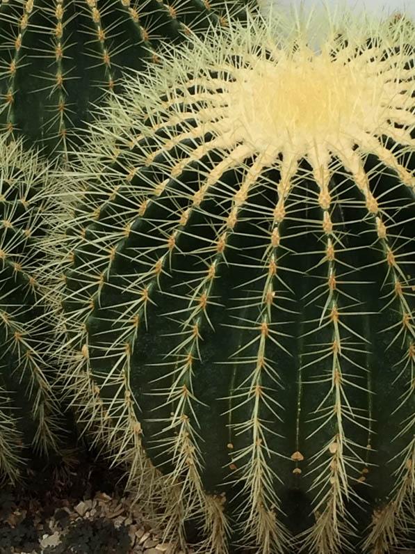 Echinocactus, serre du Jardin des Plantes, Paris 5e (75)
