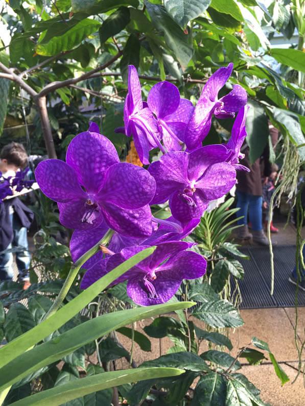 Vanda hybride, orchidées, Conservatoire de la Princesse de Galles, Kew gardens, Londres, Royaume-Uni