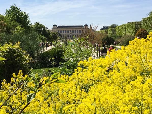 Isatis tinctoria, grande perspective du Jardin des Plantes au printemps, Paris 5e (75)