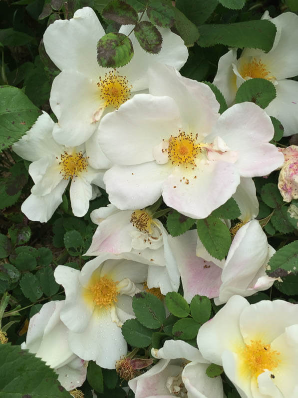 Rosier 'Nevada', rosier arbustif à grandes roses simples dans le parc de la Planchette au printemps dans Levallois (92)
