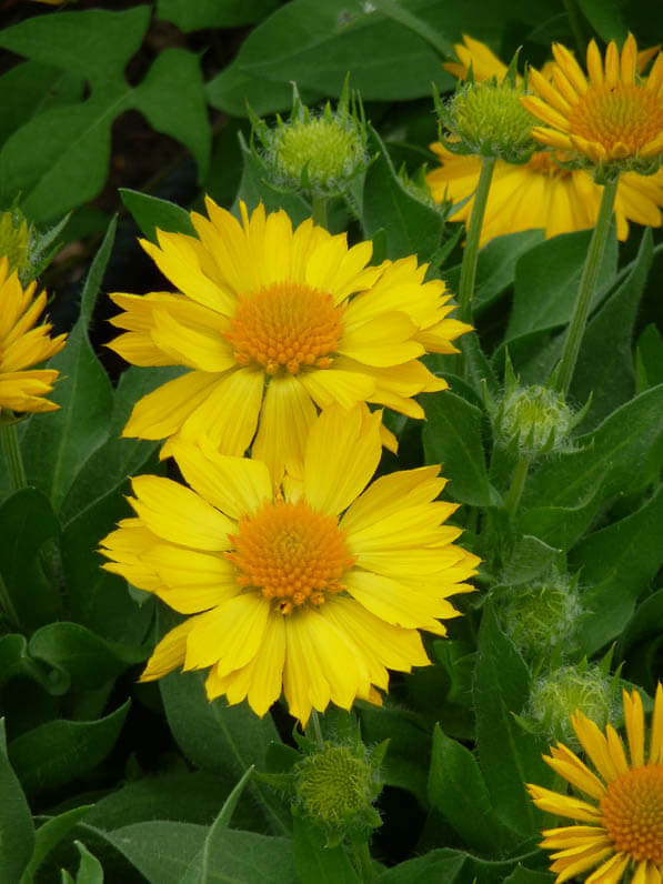 Gaillarde peinte à fleurs jaune d'or, Astéracées