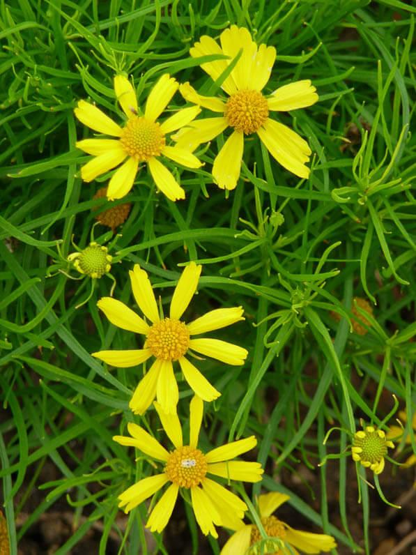 Helenium amarum 'Dakota Gold', Jardin des Plantes en été, Paris 5ème (75)