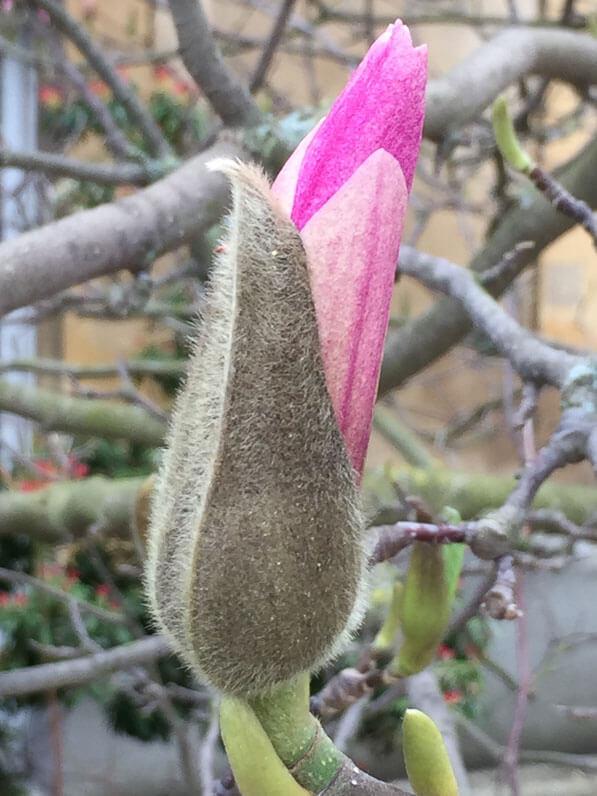 Bouton floral de Magnolia en cours d'épanouissement, Jardin des Plantes, Paris 5e (75)