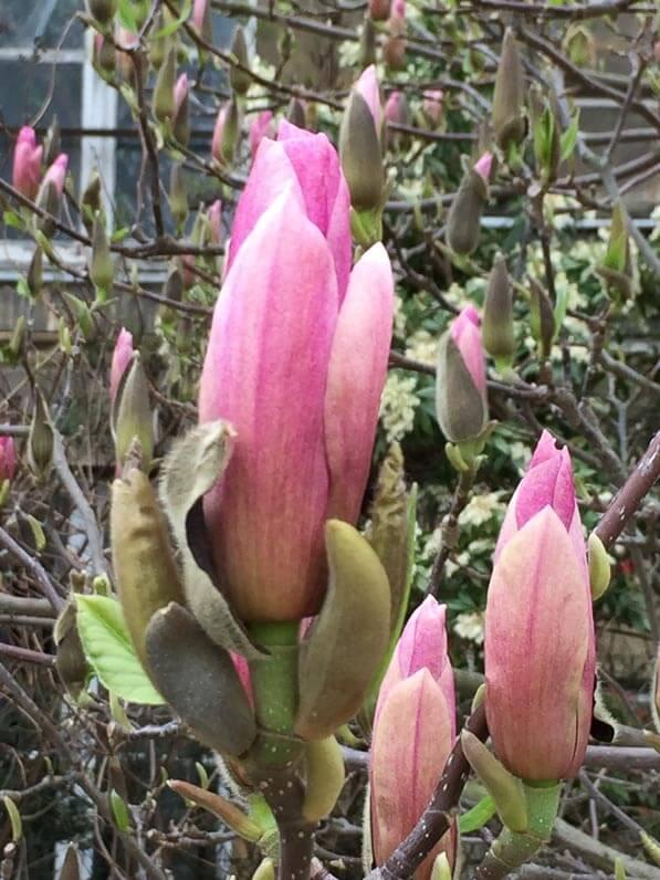 Boutons floraux de Magnolia en cours d'épanouissement, Jardin des Plantes, Paris 5e (75)