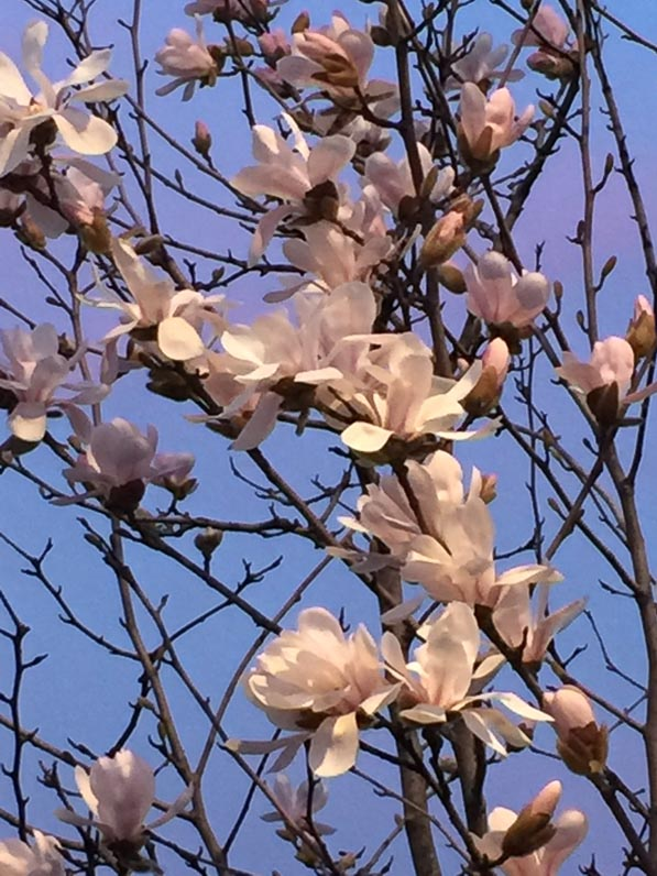 Floraison en fin d'hiver d'un magnolia, rue d'Aubervilliers, Paris 18e (75)