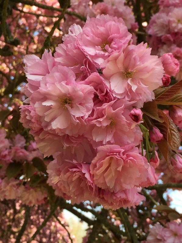 Cerisier du Japon (Prunus) dans le parc du Domaine de Sceaux (92) au printemps
