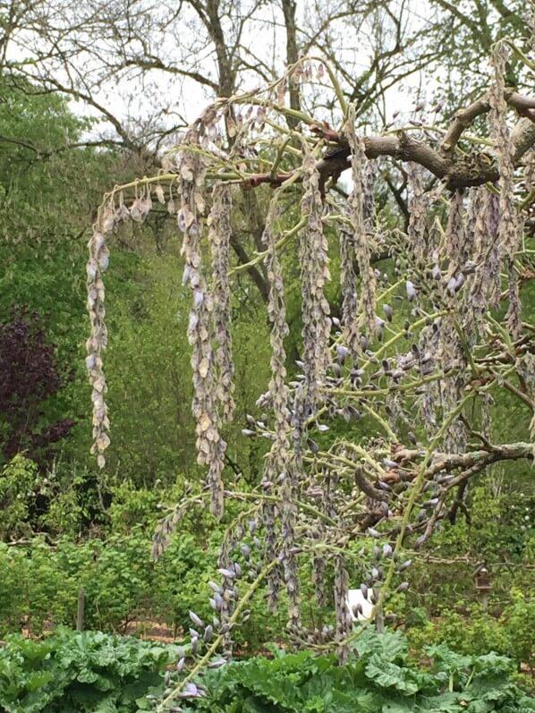 Glycine (Wisteria), fleurs gelées, dégâts du gel au printemps
