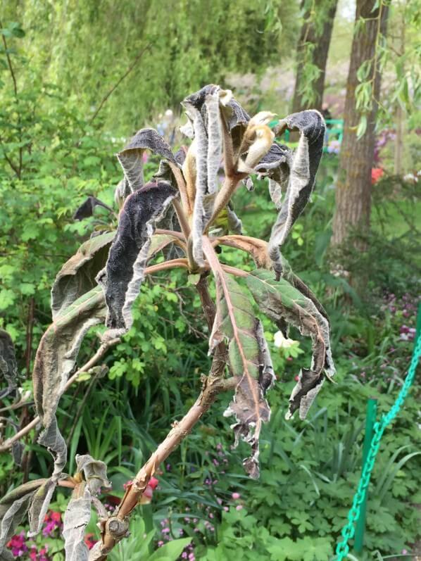 Hydrangea, feuilles gelées, dégâts du gel au printemps