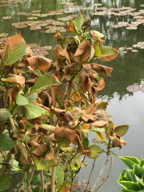 Hortensia (Hydrangea macrophylla), feuilles gelées, dégâts du gel au printemps