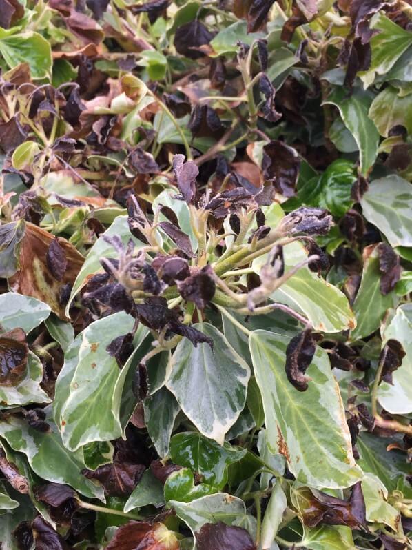 Lierre (Hedera), nouvelle feuilles gelées, dégâts du gel au printemps