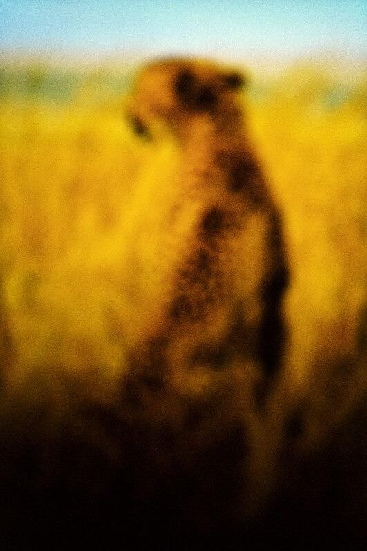 Le guépard, 60x90 cm, photo François Fontaine