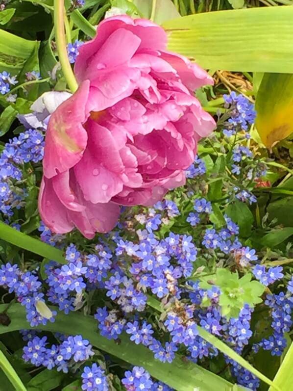 Tulipe pivoine et myosotis, jardin de Claude Monet, Giverny (Eure)